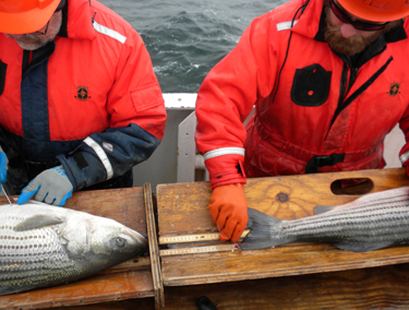 Researchers measuring Atlantic striped bass captured during the SEAMAP Cooperative Winter Tagging Cruise. Photo ? ASMFC