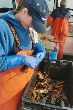 Researcher measures American lobster captured as part of the Ventless Trap Survey. Photo credit: Trisha Cheney, ME DMR.