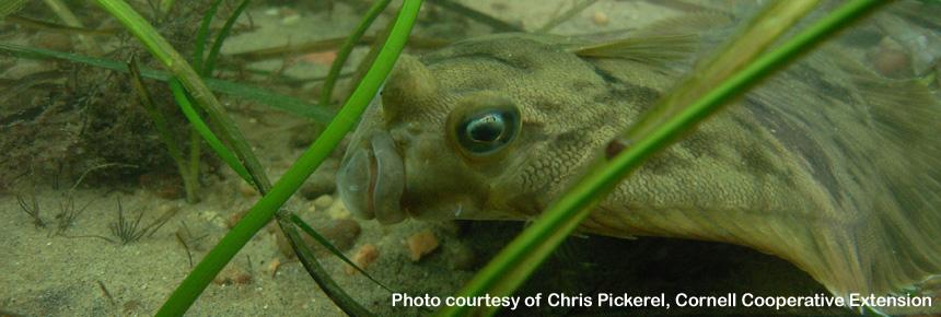 Summer Flounder Habitat